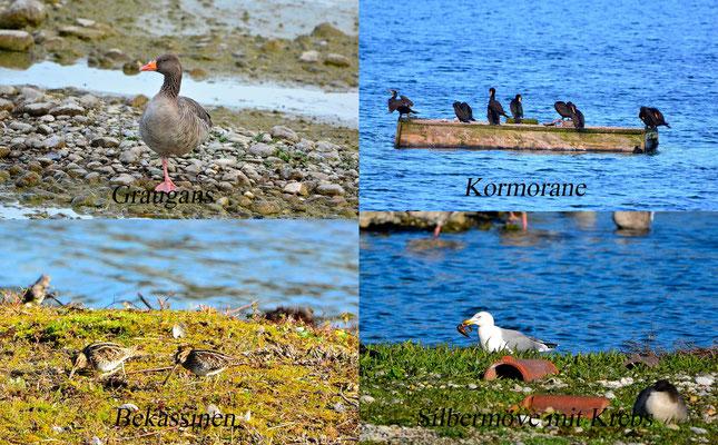 Vogelarten am See Foto: K-H Kuhn