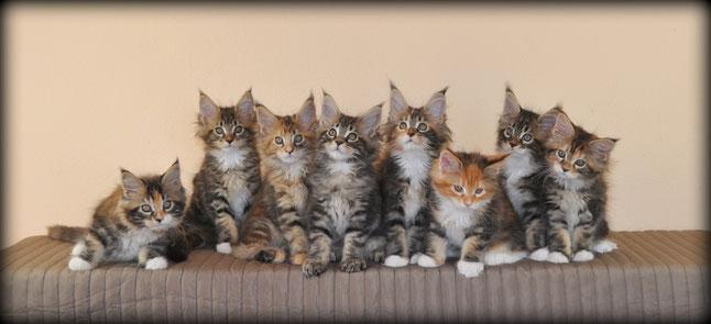 chatons maine coon  à vendre mâles et femelles habitués aux chiens bouledogues français