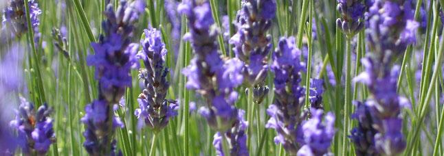 Lavendel, gern als ätherisches Öl verwendet               (Foto: privat)