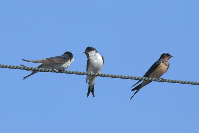 Mehlschwalben (links+Mitte) und Rauschwalbe (rechts) - Foto: Sarah Lehmann.