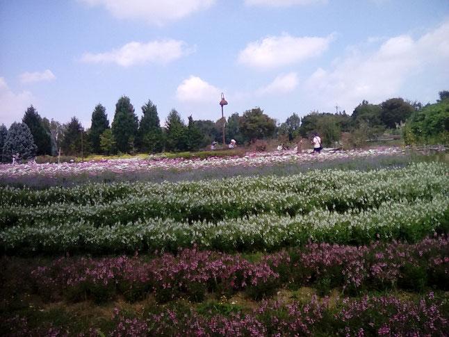馬見丘陵公園フラワーフェスタの花