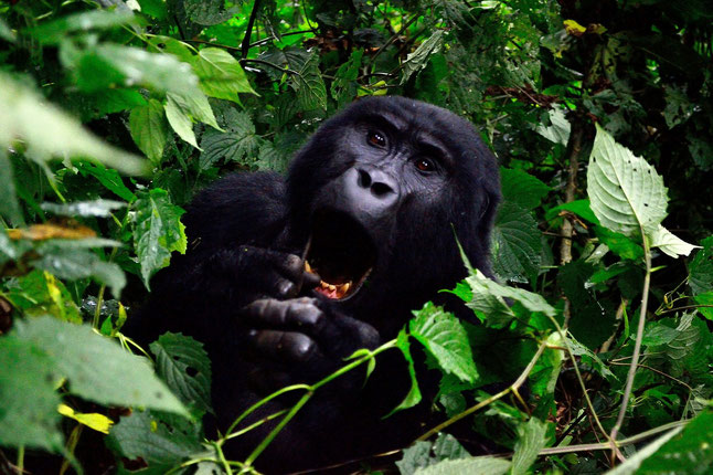 Bekannteste Nationalparks Afrika Safari Bwindi Nationalpark Uganda