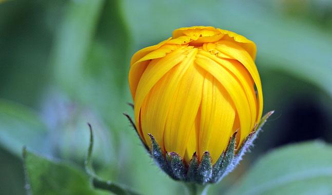 Eine Blüte für Wunden, Haut und Schleimhäute