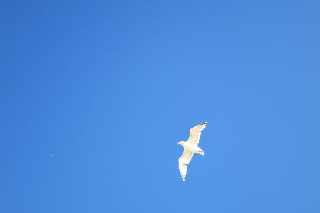 Blauer-Himmel-und-fliegende-Möwe