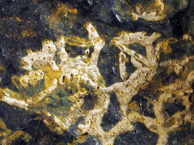 Bild 2 Bryozoa, Art: Proboscina fasciculata Reuss, 1846 aus Bryozoen Sammlung Senckenberg Frankfurt