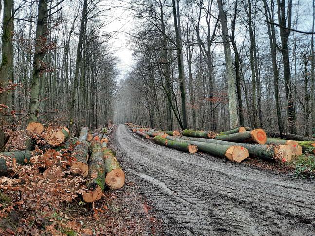Aktuelle Buchenholzernte im Steigerwald. Foto-Copyright Verein Nationalpark Steigerwald.