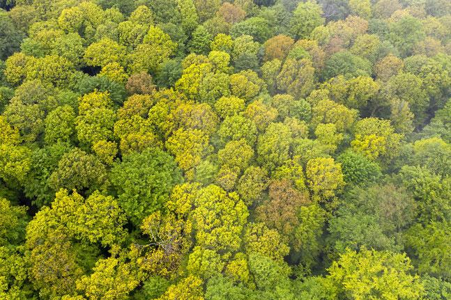 Riesenbuchen in der Waldabteilung Kleinengelein, einem der berühmtesten Waldbestände Deutschlands. Foto-Copyright Berndt Fischer