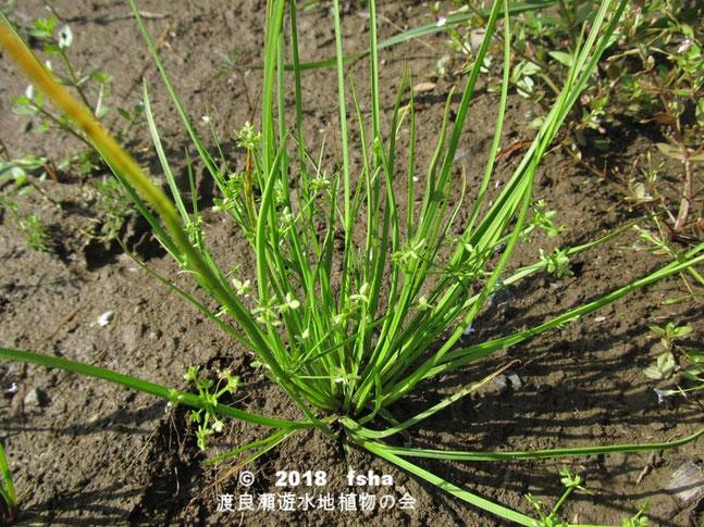 渡良瀬遊水地に生育するヒナガヤツリの全体画像と説明文書