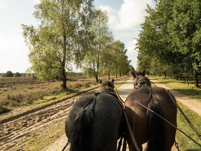 Bild: Kutschfahrt von Undeloh nach Wilsede