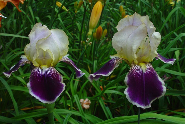 Same plant, different genes - VINGOLF diploïd on the left side, VINGOLF tetraploïd on the right side - iriszucht.de