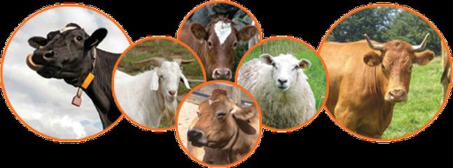 Le jour de la Pentecôte, 2 jeunes taureaux, un bélier et 7 agneaux d'un an sans défaut devaient être offerts en holocauste pour Jéhovah. Et un bouc en sacrifice d'expiation.