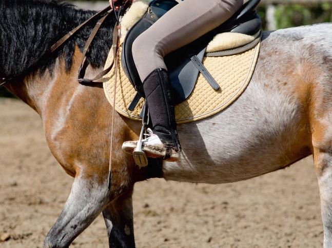 Wer genau hinsieht, sieht wie der Sattelgurt Druck ausübt und den Körper des Pferdes komprimiert.