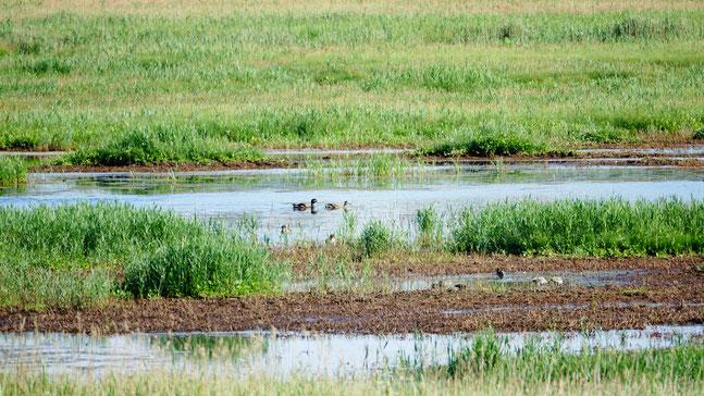 Blick auf die brackwasserüberstauten Radelwiesen, die vielen Brut- & Rastvögeln Lebensraum bieten. Quelle: NABU RV MM e.V.