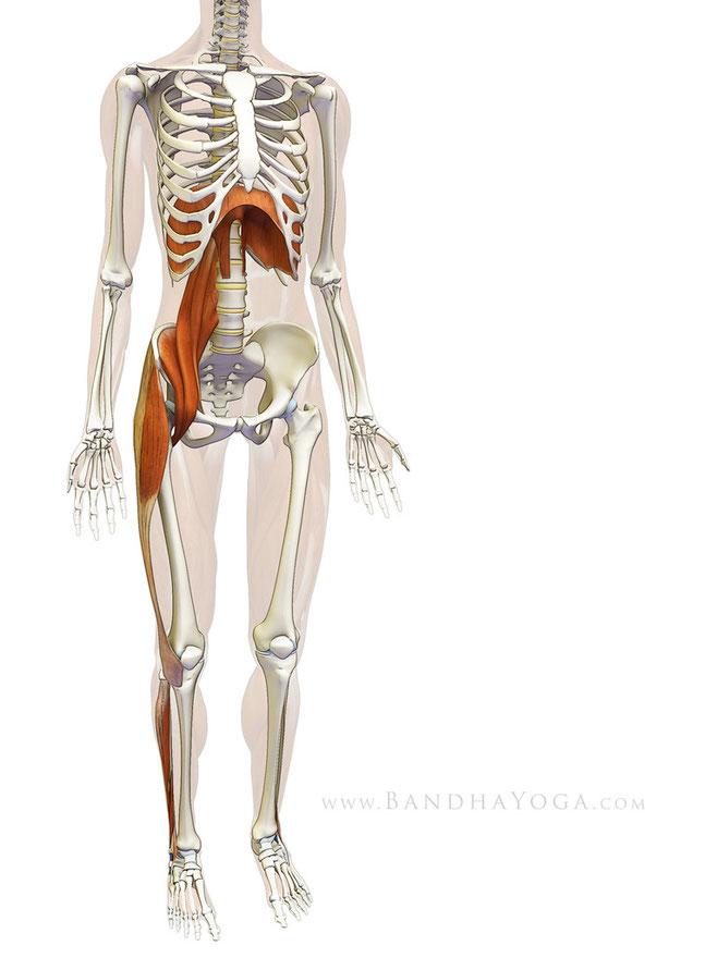 Fig 1 :Connexions myofasciaux entre le diaphragme, psoas et extrémité inférieure