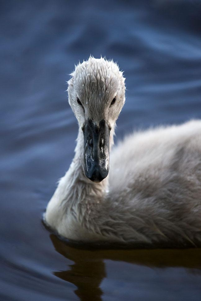 Swan Baby at a lake, Rhine-Main, Gross-Gerau, Frankfurt, Hessen, Germany, 1213x1820px