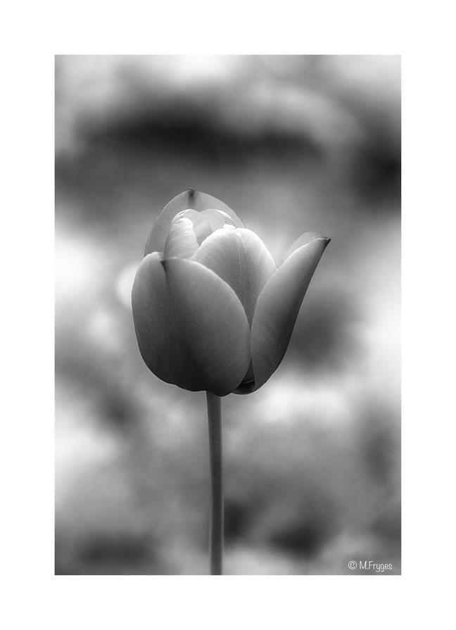 Tulpe S/W...........