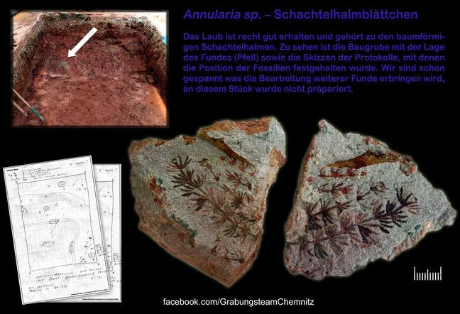 Grabungsteam Chemnitz Annularia