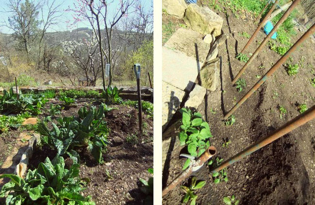 Le jardinet, les blettes, les salades, le pieds de tomates et le plan de pommes-de-terre !