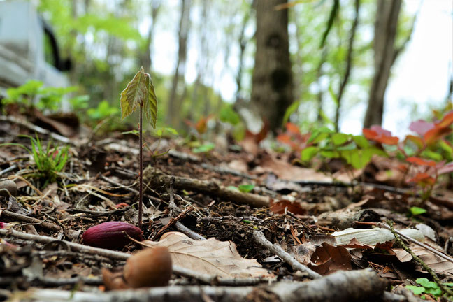秋に楢の木から落ちたドングリが冬を超え春になると芽が出ます。左手前の茶色のぼやけてるのが殻でその奥の赤いのが種。