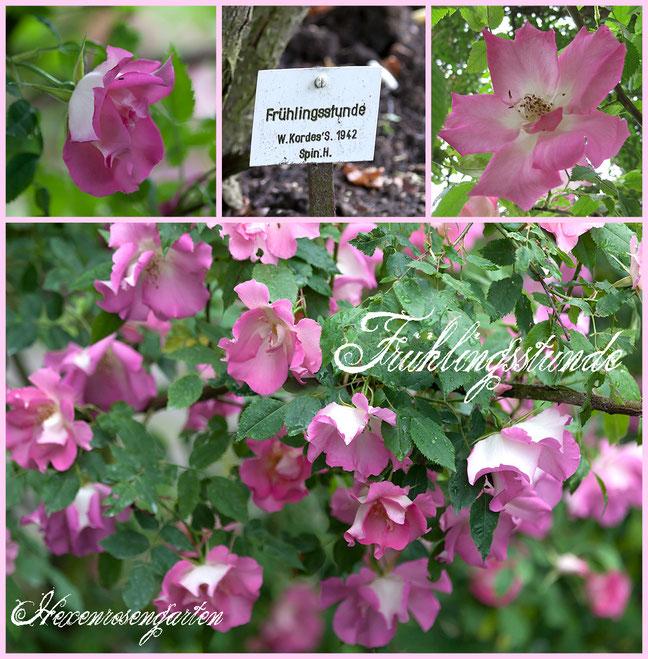 Hexenrosengarten Rosenblog Europarosarium Sangerhausen Rose Frühlingsstunde