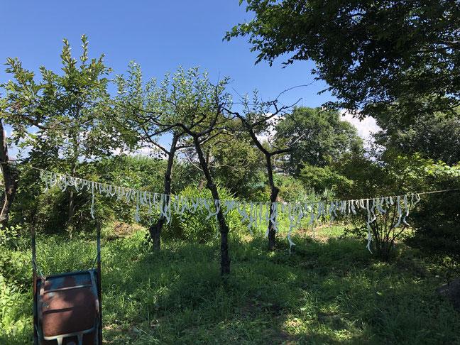 8月9日。佐久の実家の庭で、畑でできた夕顔からかんぴょうを作って干していました。青空に白さがすがすがしい。