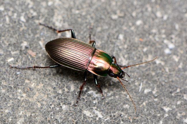 Poecilus (Pterostychus) versicolor, in 1980 waargenomen in de Zumpe.