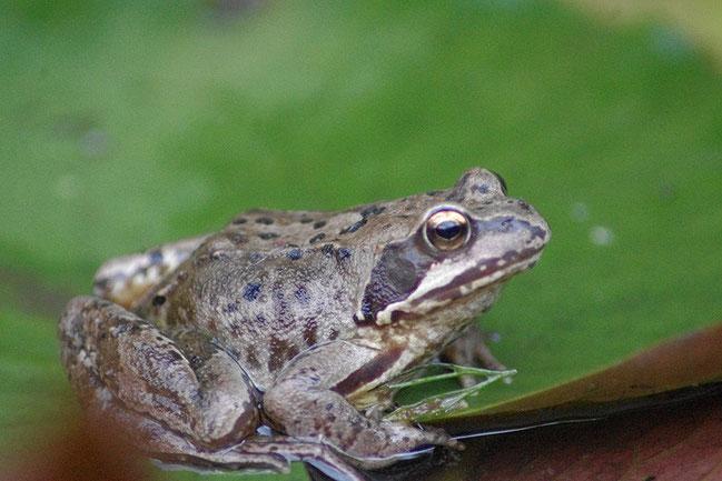 Frosch - Vedat Demirdöven