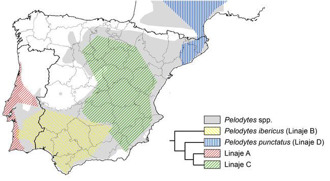 Distribución de Pelodytes spp. en la península Ibérica. Las tramas reflejan la distribución de las muestras secuenciadas por Díaz-Rodríguez et al. (2015) así como una filogenia simplificada. © V. Sancho 2015