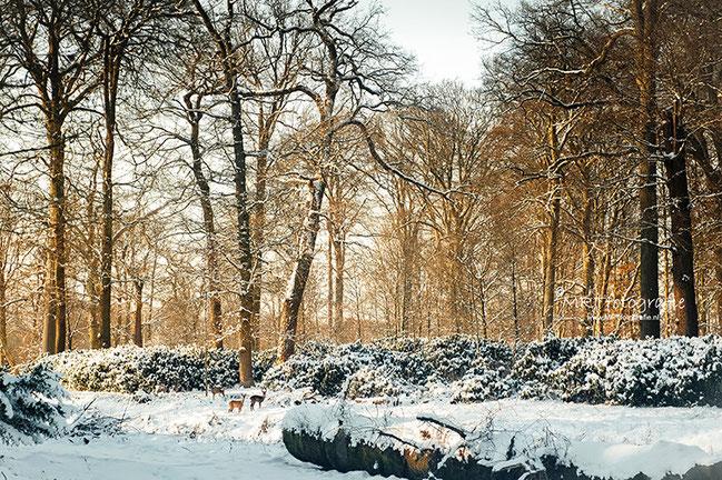 Sneeuw en hertjes aan de bos rand