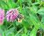 Wildbiene auf Rotklee, Foto: U. Postler
