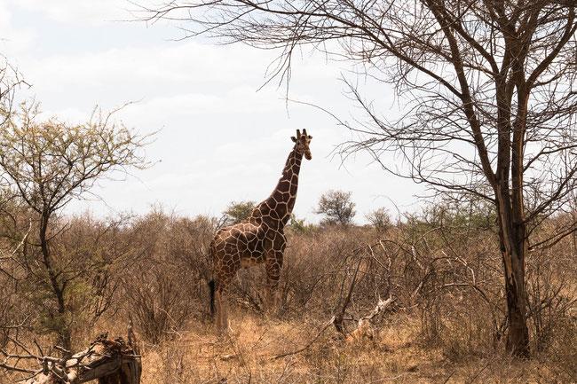 Netzgiraffe - Reticulated Giraffe (Giraffa reticulata)