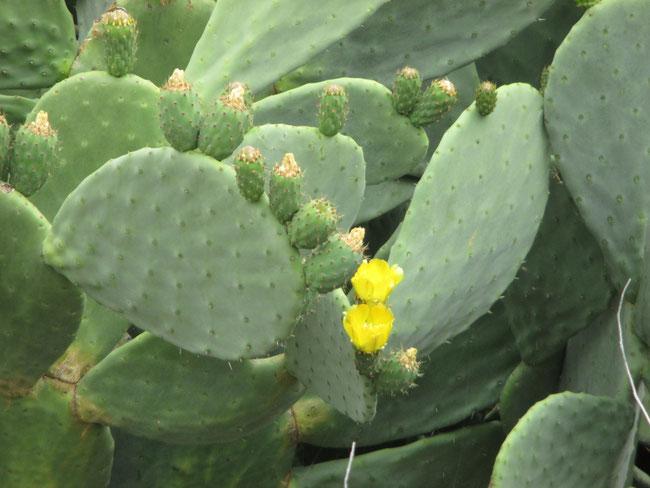 Mehrzahl von Kaktus: Kaktusse ?!