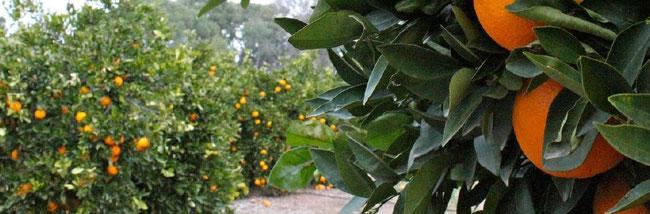 Die Orangen von Naranjas del Carmen, natürlich und saftig
