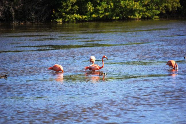 Flamingos in den Lagunen auf Cayo Guillermo Kuba