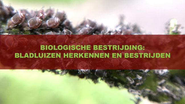 3f0e962a4e3d00 Het herkennen en bestrijden van bladluizen - foodplanting.com