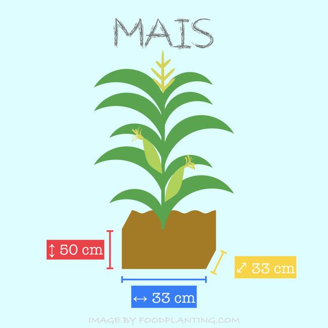 Een maisplant heeft minimaal 33 cm² ruimte nodig en 50 cm diepte.