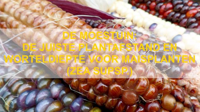 De Moestuin: De juiste plantafstand en worteldiepte voor maisplanten (Zea supsp)