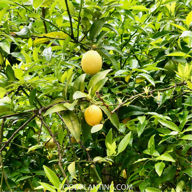 limequat, citrusboom