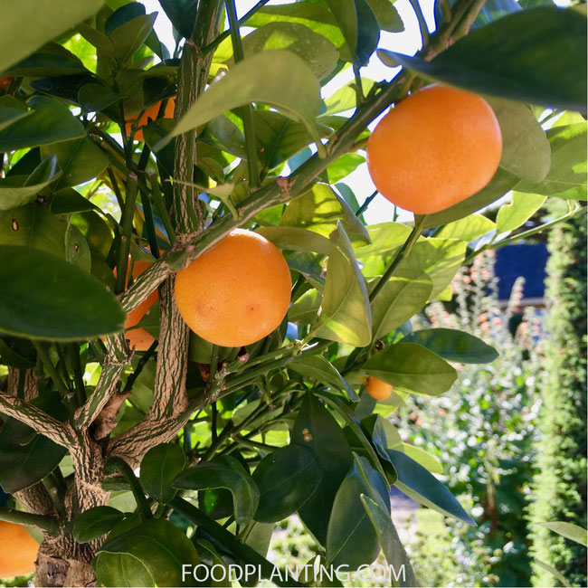 calamondinboom, mini sinaasappel, mini mandarijn