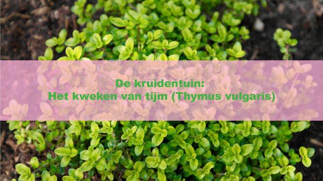 De kruidentuin: Het kweken van tijm (Thymus vulgaris)