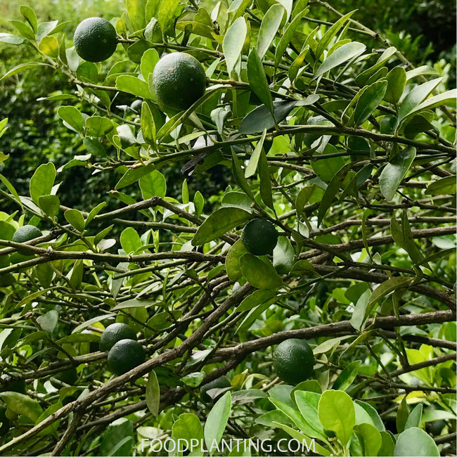 limoenboom, citrusboom kpen
