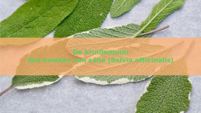 De kruidentuin: Het kweken van salie (Salvia officinalis)