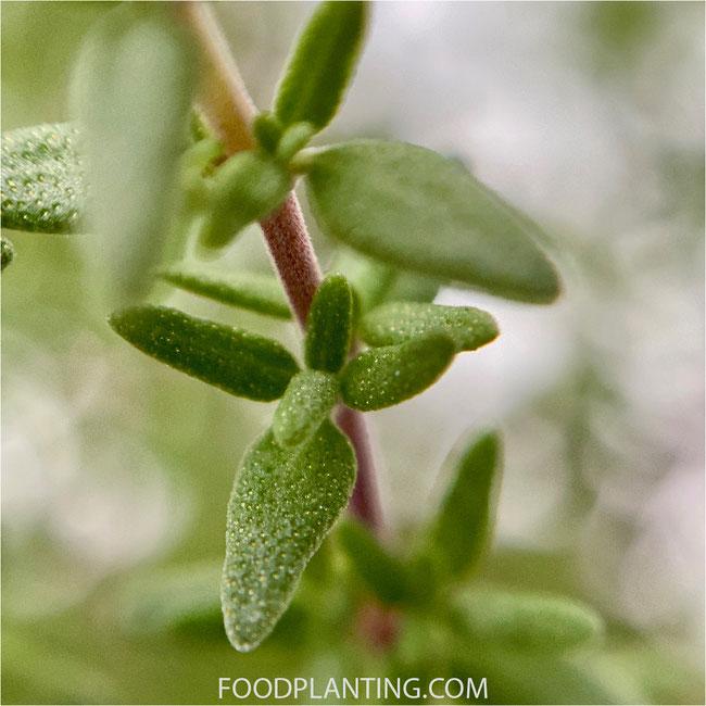tijm plant