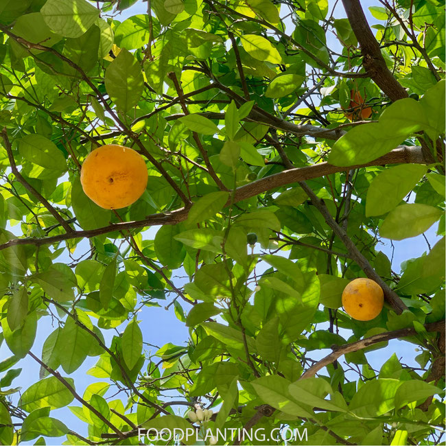sinaasappelboom, citrusboom kopen