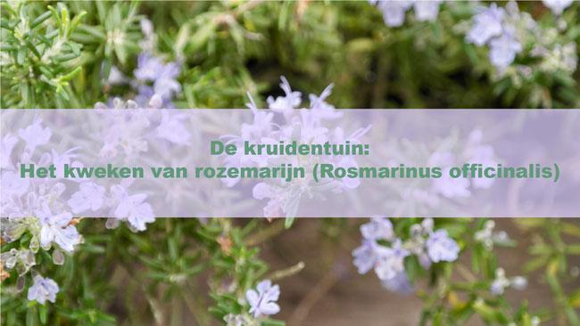 De kruidentuin: Het kweken van rozemarijn (Rosmarinusofficinalis)