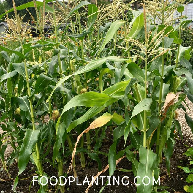 Volwassen maisplanten in de bloei in de volle grond.