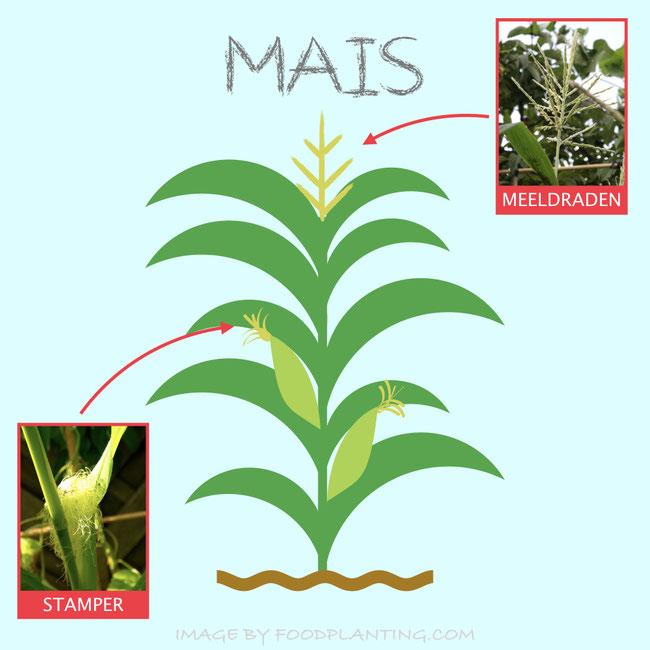 Mannelijke en vrouwelijke bloemen aan maisplanten.