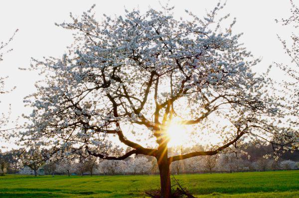 Kirschblüte im Nürnberger Land