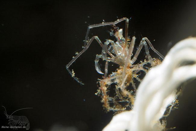 Kleine Krabbe (2,5 Wochen umgewandelt), auf der Exuvie sitzend