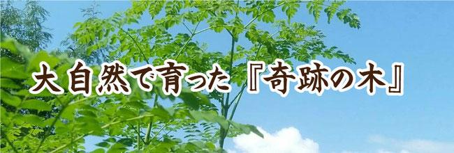 石垣島モリンガ王国モリンガ